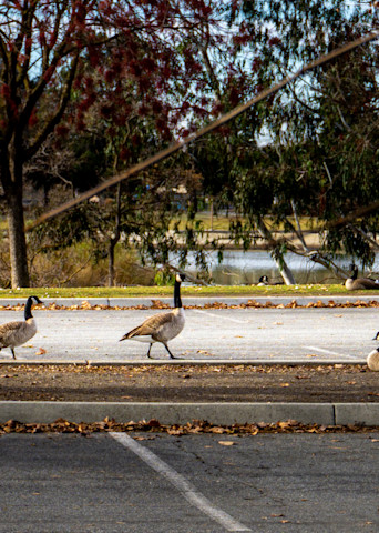 Geese On Parade Photography Art   Ron Olcott Photography