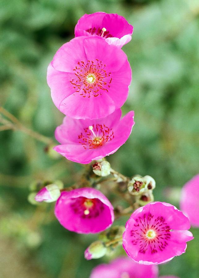 Pink Flowers Photography Art | David Louis Klein