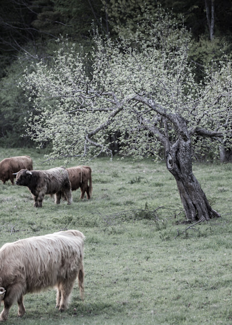 Highland Cattle | Herd in the Old Orchard | Nathan Larson Photography