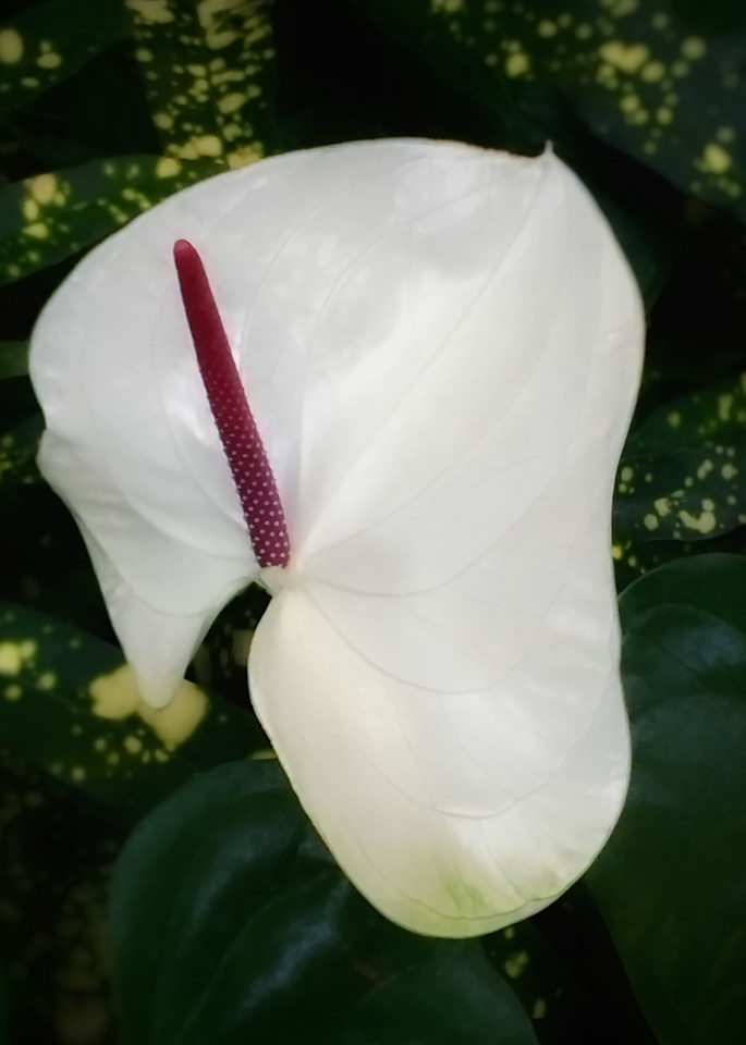 Tennessee Anthurium Photography Art | Kathleen Messmer Photography