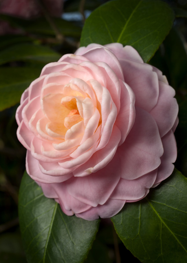 """Pink Perfection"" Camellia Photography Art 