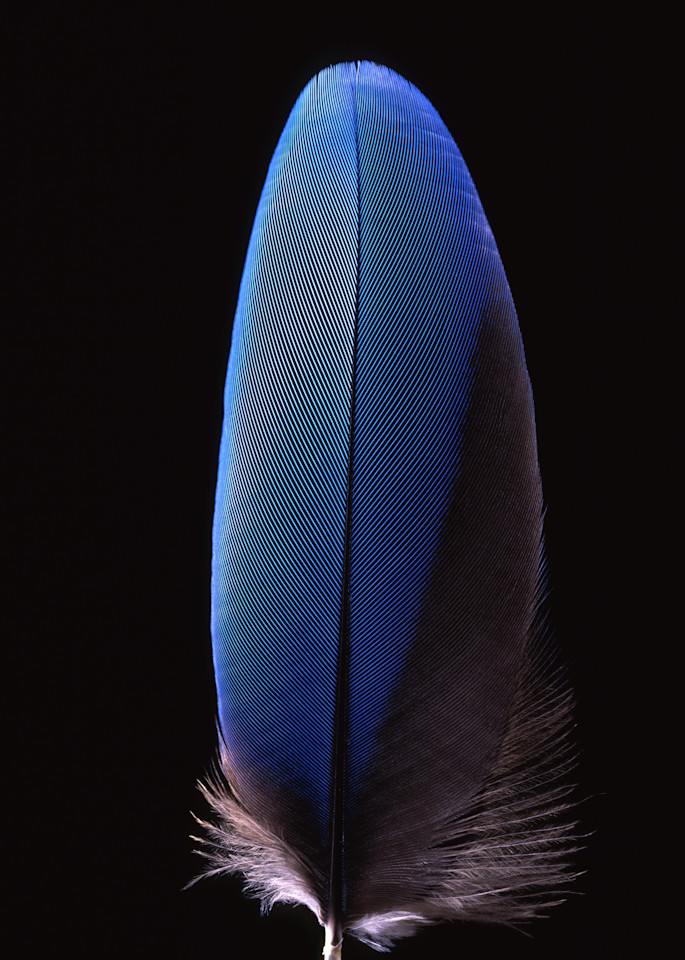 Blue Feather 2003 Photography Art   Rick Gardner Photography