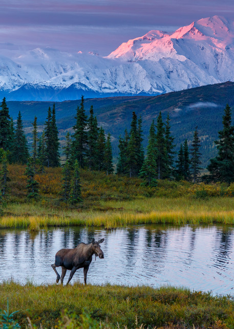 Cow moose and calf in pond with Denali in background at sunrise in Denali National Park ----  During Amazing Views Into the Wild photo tour and workshop  August 2017  Thomas Bruelmann  Photo by Jeff Schultz/SchultzPhoto.com  (C) 2017  ALL RIGHTS R