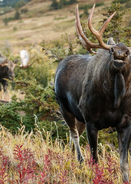Fall landscape of Bull moose smelling for female pheremones as another bull chases him out of the territory.  Powerline valley of Glen Alps area in Chugach Mountains near Anchorage, Alaska.  Chugach State Park.   Photo by Jeff Schultz/SchultzPhoto