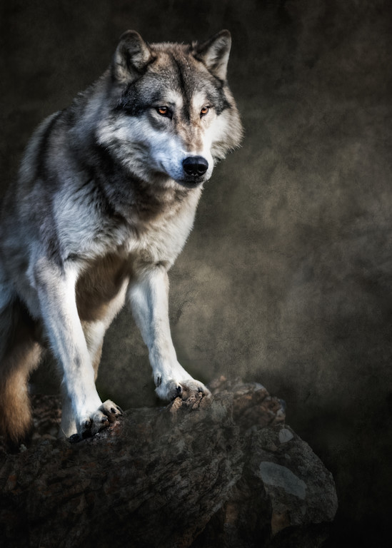 Wolf on Boulder with Textured Background