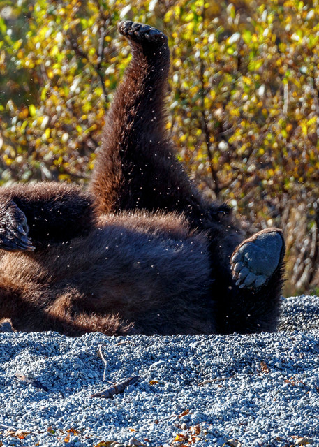 Coastal Grizzly bear sow rolls on back  in salmon carceass with legs up on shore of Crescent Lake in Lake Clark National Park.  Fall/Autumn   Photo by Jeff Schultz/SchultzPhoto.com  (C) 2017  ALL RIGHTS RESERVED