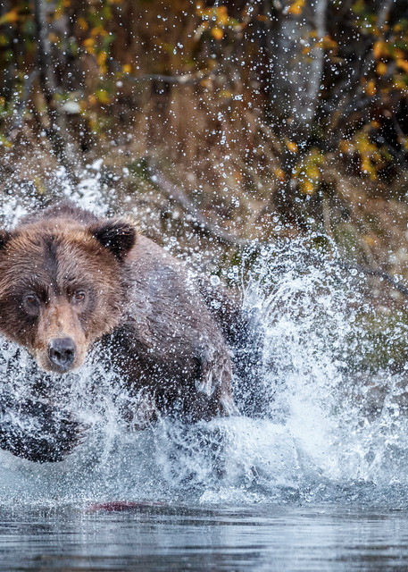 Coastal Grizzly bear runs/splashes chasing salmon in Crescent Lake in Lake Clark National Park as she fishes.   Fall/Autumn   Photo by Jeff Schultz/SchultzPhoto.com  (C) 2017  ALL RIGHTS RESERVED