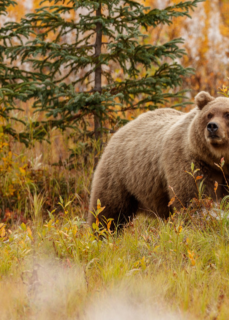 Alaskan Brown (Grizzly) Bear walks through a field of tundra and spent fireweed in Lake Clark National Park.  Fall - Autumn.  Alaska  Photo by Jeff Schultz/  (C) 2019  ALL RIGHTS RESERVED