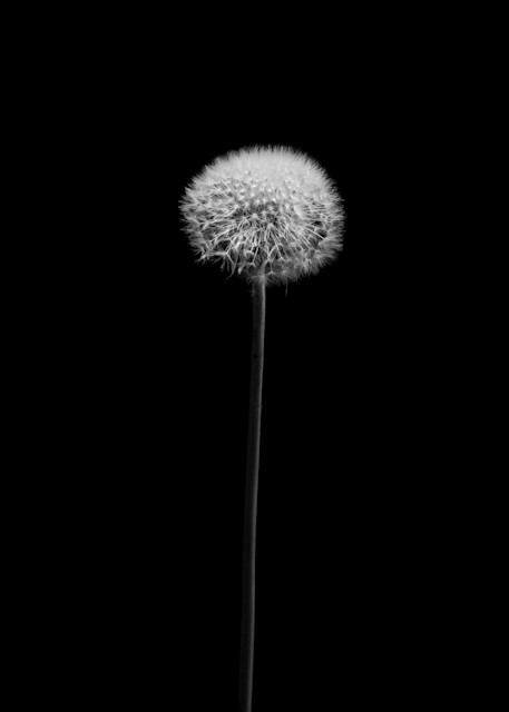 Tom Weager Photography - Dandelion