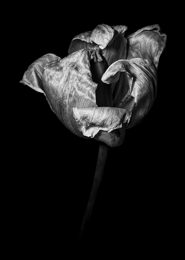 Tom Weager Photography - Curled Tulip