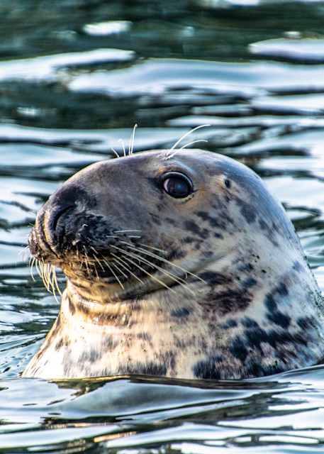Grey Seal Photography Art | The Colors of Chatham