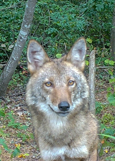 Female Coyote Photography Art   The Colors of Chatham