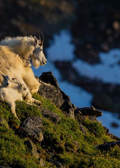 Nanny With Twins, Beartooth Plateau Photography Art | John Winnie Jr. Photography