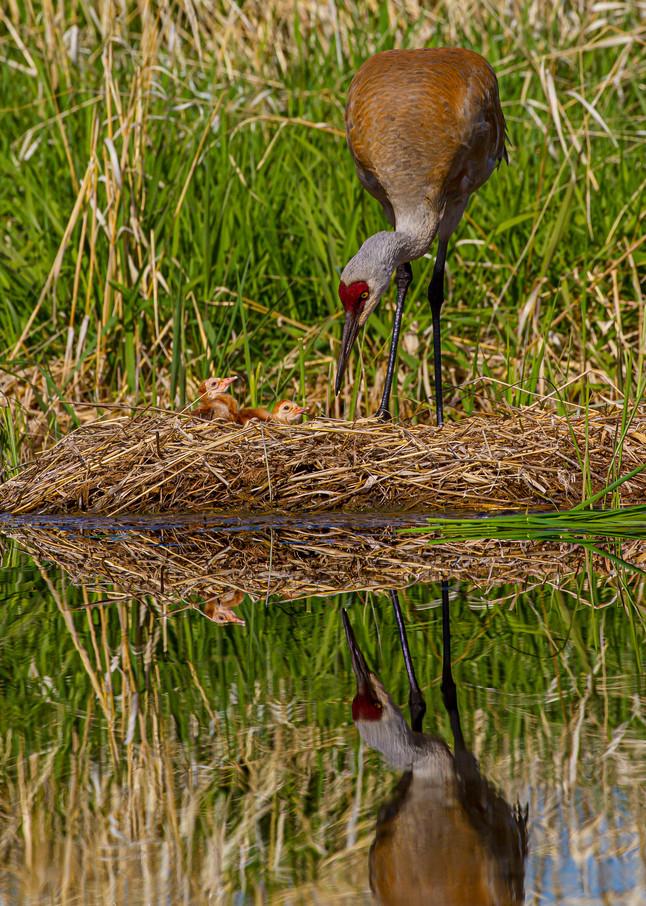 First Meeting, Sandhill Cranes Photography Art   John Winnie Jr. Photography