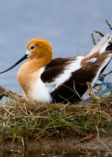 American Avocet On Nest Photography Art | John Winnie Jr. Photography