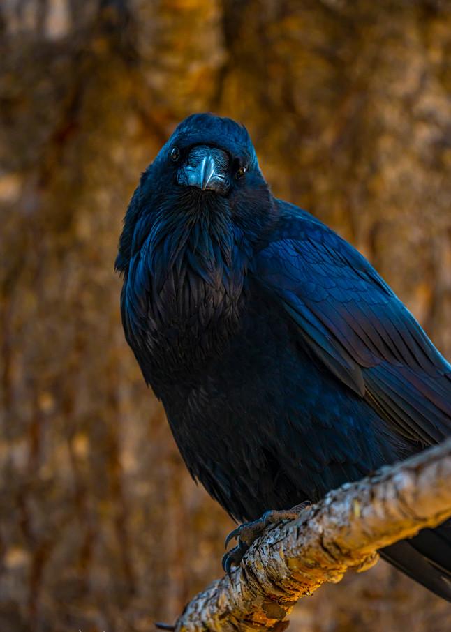 Raven's Gaze Photography Art   John Winnie Jr. Photography