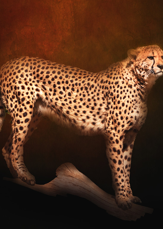 Cheetah on Copper Textured Background