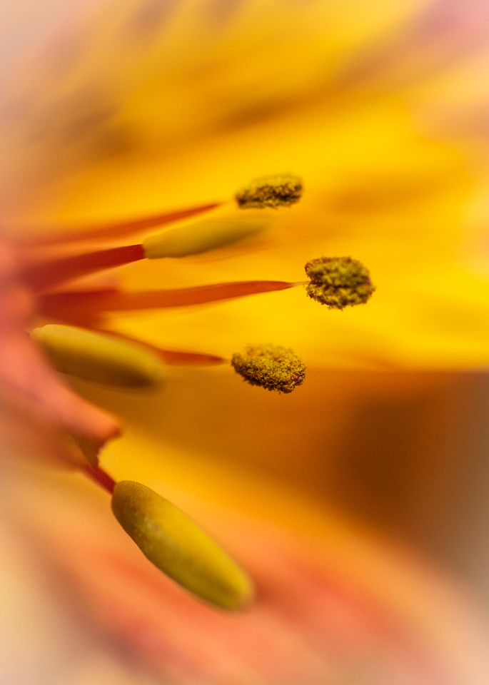 Yellow and Orange Macro of Flower Stamen
