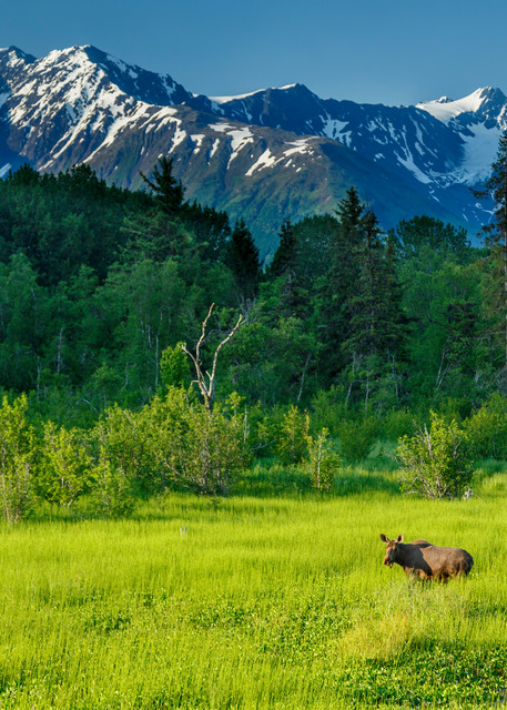 Summer landscape of cow moose in watery meadow with Chugach Mountains in background near Girdwood, Alaska  summer June 2015  (C) Jeff Schultz/SchultzPhoto.com