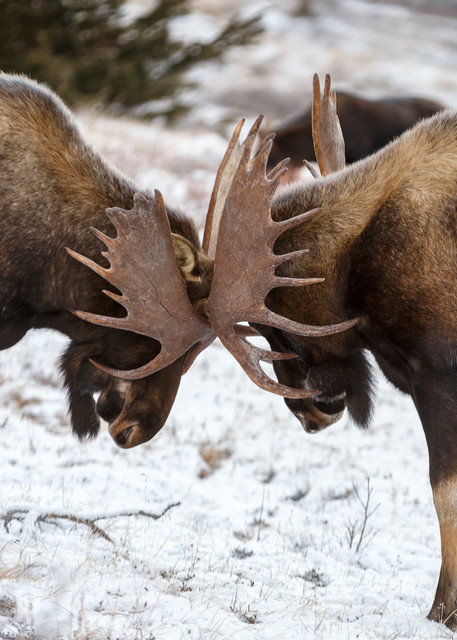 Bull moose fighting in Chugach Mountains in Chugach State Park. Glenn Alps area of Anchorage, Alaska   November 2016  Photo by Jeff Schultz/SchultzPhoto.com  (C) 2016  ALL RIGHTS RESVERVED