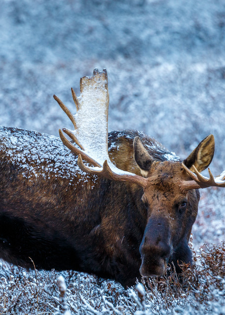Bull moose with snow on his antlers feeds on willows in Chugach Mountains in Chugach State Park. Glenn Alps area of Anchorage, Alaska   November 2016  Photo by Jeff Schultz/SchultzPhoto.com  (C) 2016  ALL RIGHTS RESVERVED
