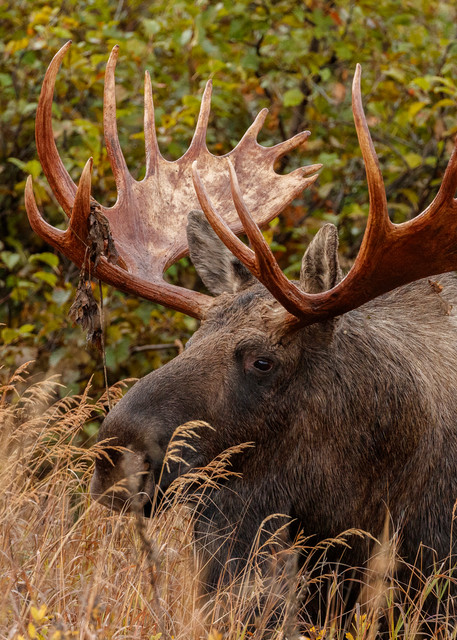 Bull Moose on tundra in grasses in Glen Alps area of Chugach State Park in Anchorage, Alaska.  Autumn/Fall  Photo by Jeff Schultz/  (C) 2019  ALL RIGHTS RESERVED
