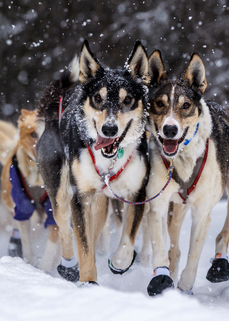 Lead dogs run down the trail while snow falls at Finger Lake checkpoint during Iditarod  PHOTO (C) BY JEFF SCHULTZ / ALL RIGHTS RESERVED