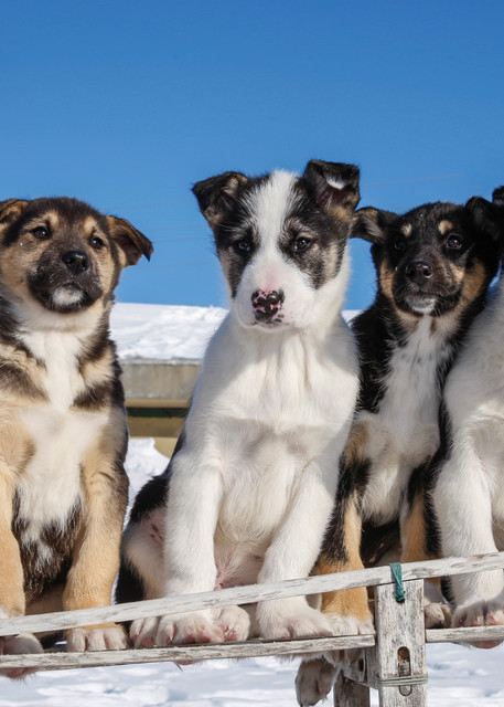A group of 8 week old Iditarod husky pups sits in an antique wooden sled in Nome.  PHOTO (C) BY JEFF SCHULTZ / ALL RIGHTS RESERVED