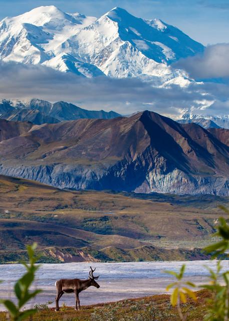 Caribou and Mt. McKinley (Denalli) during the Alaska Photo Treks 2015 Denali Photo Workshop in Denali National Park at Camp Denali.  August  Summer