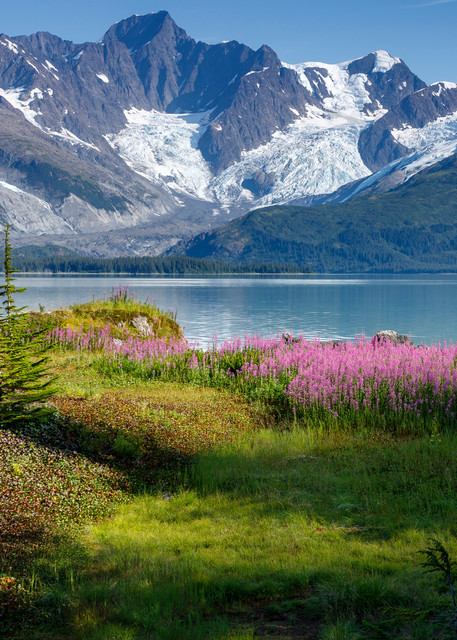 Summer landscape of Fireweed, trees and hanging glaciers in Harriman Fjord of Prince William Sound. Southcentral, Alaska  Photo by Jeff Schultz/  (C) 2019  ALL RIGHTS RESERVED