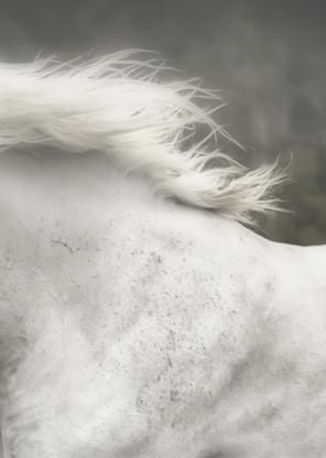 Gray horse galloping print