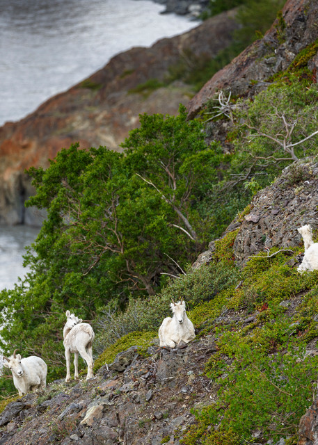 Spring landscape Dall Sheep on slopes and cliffs of the Chugach Mountains in Chugach State Park at Windy Corner area south of Anchorage. Southcentral, Alaska   Photo by Jeff Schultz (C) 2016  ALL RIGHTS RESERVED