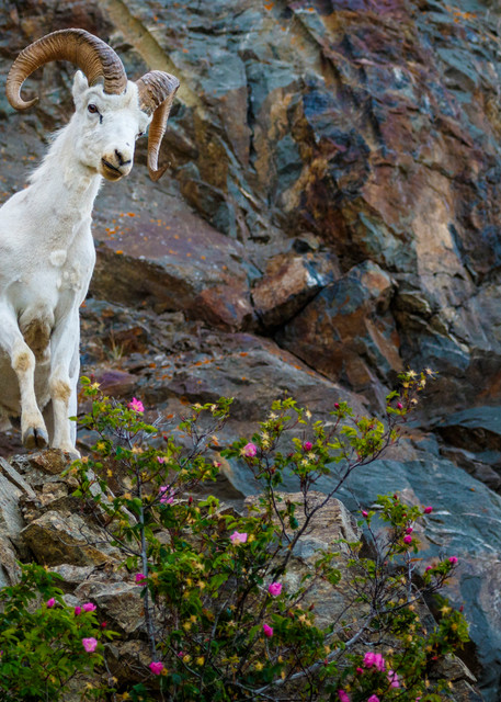 Summer image of young Dall Sheep ram on rocky cliffs of Chugach Mountains in Chugach State Park with wild rose foliage.  Southcentral, Alaska  Photo by Jeff Schultz (C) 2016  ALL RIGHTS RESERVED