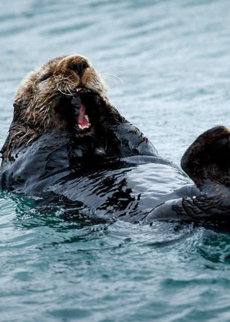Sea Otter eats and floats on his back in Kukak Bay of Katmai Coast in Katmai National Park, Alaska.  Katmai Wilderness Lodge Summer.  June 2018  Photo by Jeff Schultz/SchultzPhoto.com  (C) 2018  ALL RIGHTS RESERVED