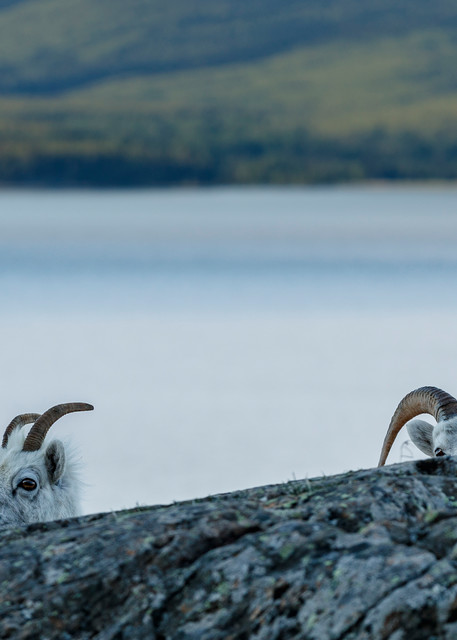 Two Dall sheep peak over a rock at Windy Corner of Chugach Mountains, Chugach State Park with the water of Turnagain Arm and Kenai Mountains in background.  Southcentral, Alaska  Spring-Summer  Photo by Jeff Schultz/  (C) 2020  ALL RIGHTS RESERVED