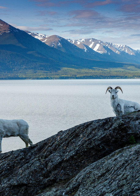 A Dall sheep ewe and young ram walk on rock at Windy Corner of Chugach Mountains, Chugach State Park  with the water of Turnagain Arm and Kenai Mountains in background.  Southcentral, Alaska  Spring-Summer.    Photo by Jeff Schultz/  (C) 2020  ALL