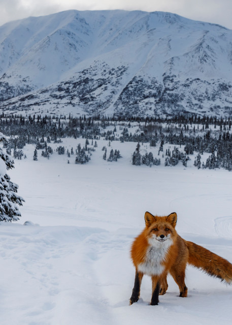 Winter landscape of Red Fox in snow with Alaska Range Mountains in Rainy Pass area of southcentral, Alaska  Photo by Jeff Schultz/  (C) 2021  ALL RIGHTS RESERVED