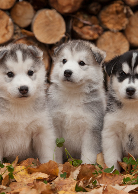 5 Week old Siberian Husky puppies in traditional wooden dog sled w/ Christmas wreath   Autumn
