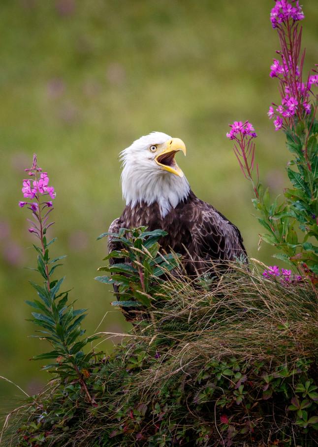 Eagle Screech 2