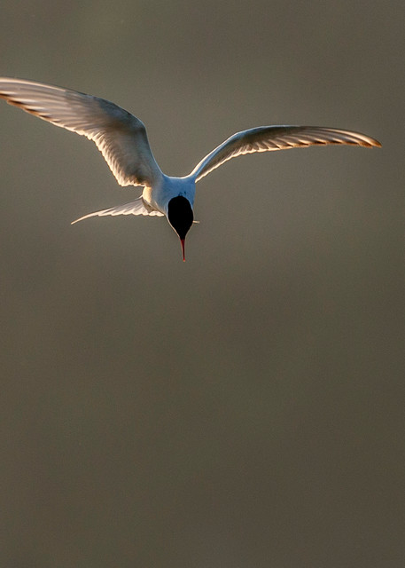 Tern Hover