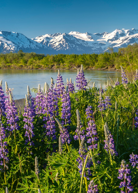 Placer Lupine 3
