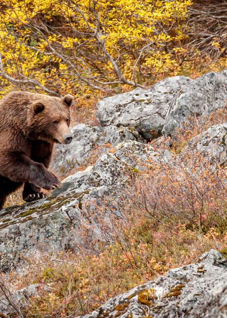 Brown Bear Boar Going for a Walk