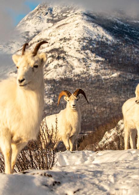 Winter Sheep Family