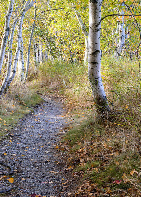 Peaceful Walking Path through a Birch Forest in Autumn   Fine Art Prints For Sale