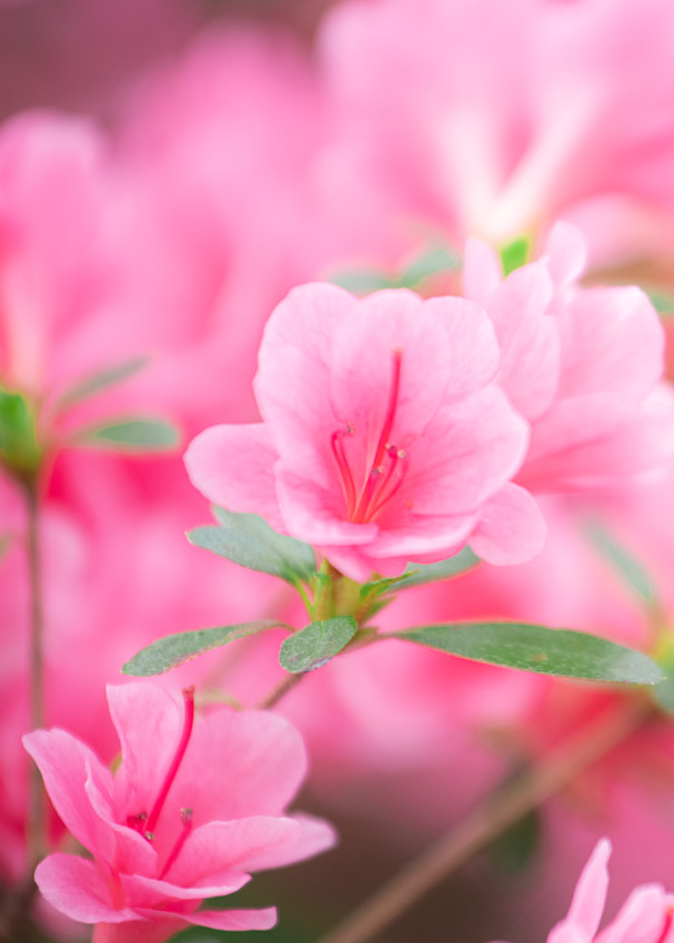 Blooming Pink Azalea Prints For Your Space