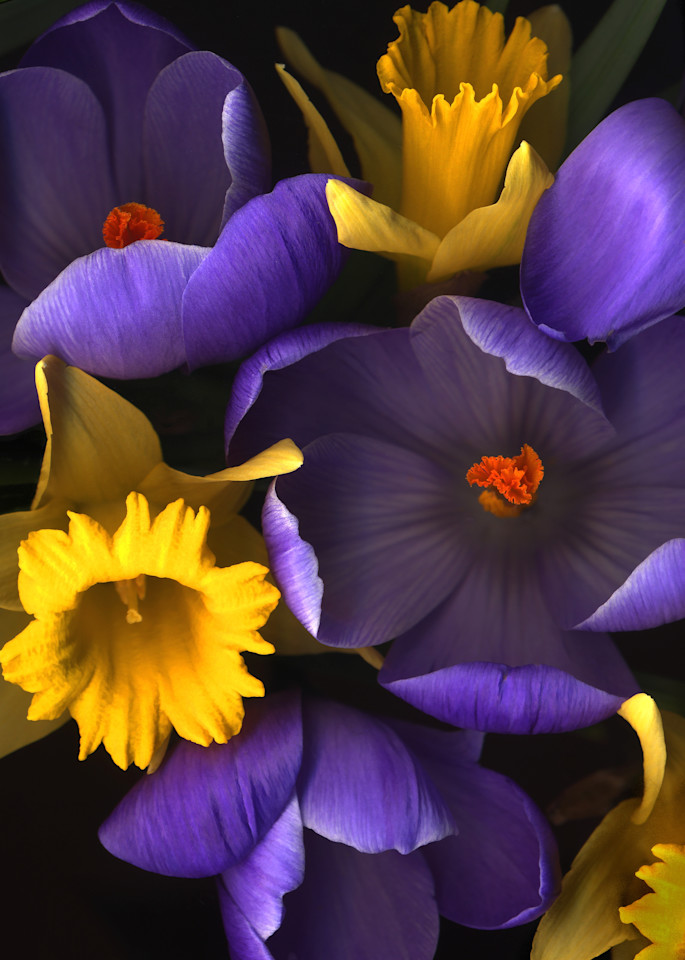 Daffodile Crocus Closeups Lrg1620 Fs Photography Art | Koral Martin Healthcare Art