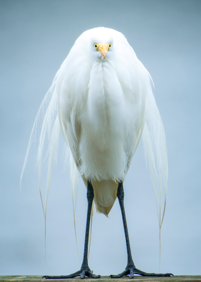 Great Egret Posing for Photo