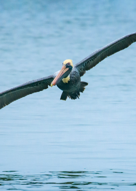 Brown Pelican in Flight at Harbour Town Marina
