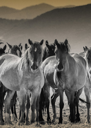 Large herd of wild horses black and white print