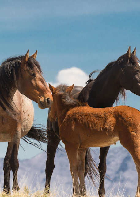 WIld mares with foal under blue skies print